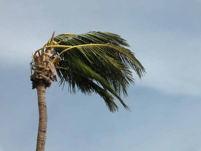 image of palm tree in high wind